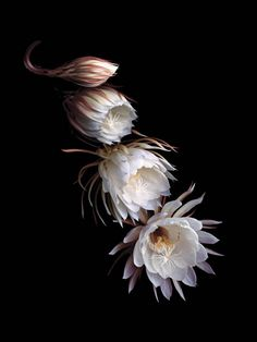 The night-blooming orchid cactus Epiphyllum oxypetallum, a large, fragrant…
