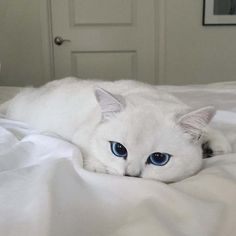 Este #gato tiene los ojos azules más hermosos que hayas visto (scheduled via http://www.tailwindapp.com?utm_source=pinterest&utm_medium=twpin&utm_content=post84443121&utm_campaign=scheduler_attribution)
