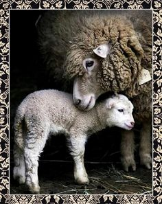 The Secret Lives of Sheep - A Fitting Finish