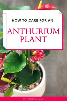 Anthurium plants are some of the most beautiful indoor plants you can grow! Learn how to care for this long-blooming houseplant so you can grow it inside your home! Best Plants For Home, Anthurium Care, Low Maintenance Indoor Plants, How To Water Succulents, Pothos Plant, Low Light Plants, Flower Garden Design, Plant Lighting, House Plant Care