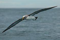 Tristan albatross: the  Great Albatrosse.