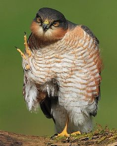 Sparrowhawk preening by Tom Langlands -- British Wildlife Photography Awards.
