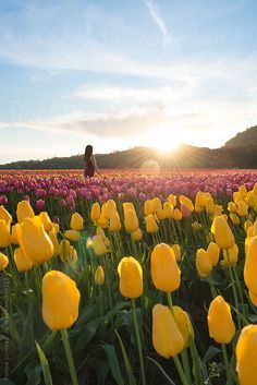 Stock photo of Young woman in a red tulip field by jovanarikalo Tulip Fields, Red Tulips, Us Images, Young Women, Trending Memes, Flower Power, Design Elements, Beautiful Flowers, Nature