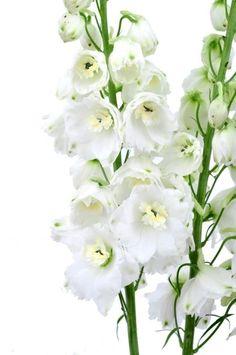 White Delphinium Wedding Flowers 100 stems  #wedding #flowers #centerpiece #decor #orchids #bridal #bouquets #corsage #bulkroses #bride