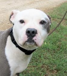 Kiwi is an adoptable Pit Bull Terrier Dog in Rockaway, NJ. Meet Kiwi Max, or just Max for short. Max is a 6 year old Pit Bull who was found wandering as a stray in an emaciated state by animal contro...