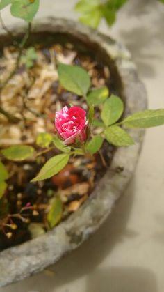 Flor rosa jardim dualcor duas cores