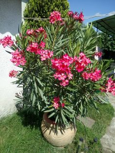 Advice For Growing Beautiful Flowers, Produce And Other Plants - Useful Garden Ideas and Tips Tropical Garden, Tropical Plants, Outdoor Plants, Outdoor Gardens, Oleander Plants, Rose Garden Design, House Plant Care, Organic Plants, Organic Gardening