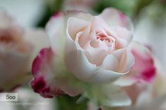 rose by kusoksveta. Please Like http://fb.me/go4photos and Follow @go4fotos Thank You. :-)