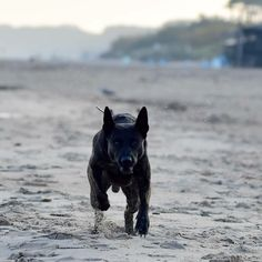 Breed ➡️ dutchshepherddog From @casper_the_dutchie 🐶 Casper 3 years old . #dutchshepherd Dutch Shepherd Dog, 3 Years, Dogs, Doggies, Dog