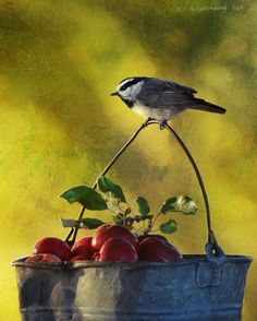 """""""apple bucket mountain chicadee"""" by R Christopher Vest"""