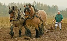 """I remember riding on the back of a work horse's massive back when I was a wee small girl. We had them too - called them """"draft horses"""" I think. Big Horses, Work Horses, All About Horses, Most Beautiful Animals, Beautiful Horses, Fat Horse, Hell On Wheels, Pet Dogs, Pets"""