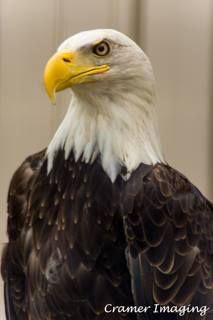 Bald Eagle.  Learn more about it and our #IdahoArt at www.cramerimaging.com.