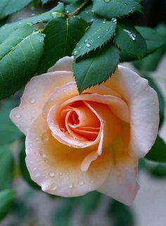 Wonderful rose #flowers