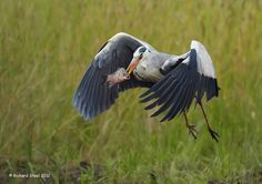 Grey Heron carrying fish to a safe place to eat... Wildlife Photographic Journals: July 2012