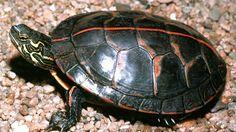 Buy baby southern painted turtles for sale online, shop southern painted turtle for sale from southern painted turtle breeder and online turtle farm painter turtle breeders. Turtle Care, Pet Turtle, Tiny Turtle, Turtle Information, Turtles For Sale, Box Turtles, Ninja Turtles, Tortoise As Pets, Tortoise Food