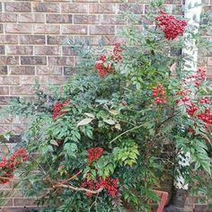 Options Nandina Plant, Lemon Lime Nandina, Dwarf Plants, Foliage Plants, Spring And Fall, Porch Decorating, Garden Beds, Green Colors