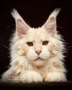 Kittens Cutest, Cats And Kittens, Cute Cats, Long Cat, Long Haired Cats, Norwegian Forest Cat, Cat Photography, Maine Coon Cats, Beautiful Cats