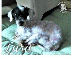 Lara was found as a stray on Valentine's Day, matted cold and emaciated. Her foster mom pointed out that Lara bears a striking resemblance to a goat in this photo, as we must agree with her! Lara is a sweet girl who weighs 5 lbs and needs to gain a few more. Lara just joined her foster family and we will post more as we get to know her. If you are interested in adopting Lara, please fill out an application here: http://fs2.formsite.com/PRVT/form2/index.html