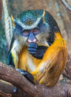 This Wolf's mona monkey photographed at Batu Secret Zoo in Indonesia, bears an uncanny resemblance to comic book superhero Wolverine