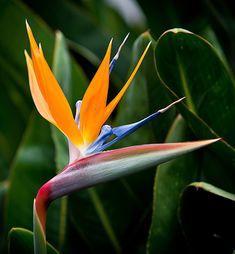 Bird of paradise (Strelitzia reginae), an easy-to-grow exotic with unmistakeable. - Birds of Paradise - Flowers Birds Of Paradise Plant, Birds Of Paradise Flower, Unusual Flowers, Beautiful Flowers, Flowers Uk, Flower Artists, Diy Garden, Exotic Plants, Tropical Flowers