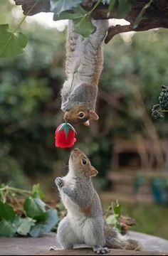 A romantic squirrel appears to have presenting his love interest with a bright red rose. The shot was taken by renowned squirrel photographer Max Ellis, from Teddington, South West London . Nature Animals, Animals And Pets, Beautiful Creatures, Animals Beautiful, Romantic Animals, Majestic Animals, Cute Baby Animals, Funny Animals, Cute Squirrel