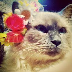 Beautiful mittens #cute #pretty #cat #kitten #mittens #beautiful #animallove #love #happiness #hippie #gypsy #funnycat #cutecat #flower #daisychain #happy #summer #photography #model #lol #fluffy #ragdoll #blueeyes #softkitty #purr #meow #kitty #hellokitty #goodmorning