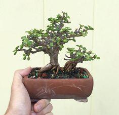 Jade Plant Bonsai, Jade Plants, Bonsai Plants, Bonsai Trees, Acer Palmatum, Bonsai Tree Types, Propagation, Indoor Garden, Shrubs