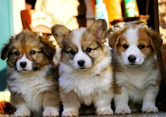 Long haired corgis - so sweet they're giving me diabetes!
