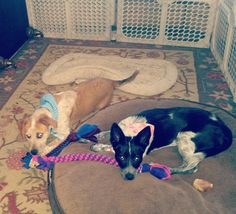 Tanner & Maddie are wearing new bandanas and enjoying their hand-braided fleece dog toys! Thank you Linda for sending me this lovely photo. It was great meeting you in San Clemente.   Check out our handmade pet accessories at sunmoonpetwear.com or click on the link in the Bio. by sunmoonpetwear