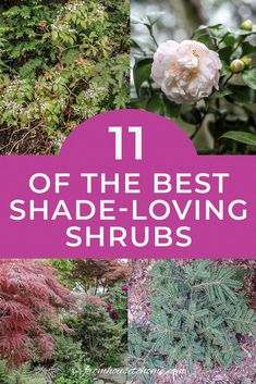 Find out which bushes to plant under trees in the shade garden in your backyard or front yard. These shrubs will help to brighten up your yard. #fromhousetohome #bushes #shade #gardeningtips #gardening #gardenideas Best Shrubs For Shade, Shade Loving Shrubs, Shade Shrubs, Shade Garden Plants, Shade Perennials, Summer Plants, Garden Shrubs, Evergreen Bush, Evergreen Shrubs