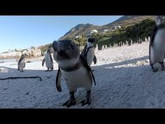 African Penguins at Boulders Beach, Cape Town - YouTube
