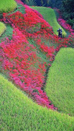 Higanbana flowers on the rice fields.