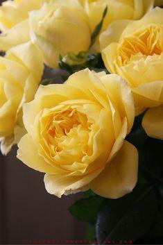 Toulouse Lautrec - Meilland jardin & Parfum Rose. Premium Scented Orange garden rose - 003