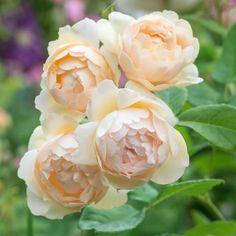 David Austin Climbing Roses, Roses David Austin, Deadheading Roses, Rose Delivery, Heirloom Roses, Hybrid Tea Roses, Growing Roses, Exotic Flowers, Rare Flowers