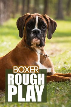 Does your Boxer puppy or dog play rough? Check out our latest video on how to address this behaviour with tips and insights. More awesome dog information at Fenrir Canine Show and Fenrir Canine Leaders. Large Dog Breeds, Large Dogs, Boxer Dog Breed, Puppy Training Tips, The Perfect Dog, Getting A Puppy, Medium Sized Dogs, Separation Anxiety, Dog Behavior