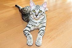5a1d69ab92 15 Best Popular Cat Breeds images