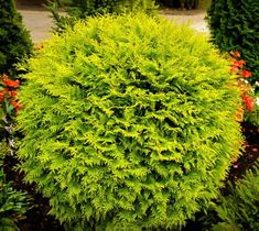 Golden Globe Dwarf Arborvitae Thuja occidentalis 'Golden Globe' This American arborvitae cultivar is a dwarf, dense, evergreen shrub with a rounded, globular form. Soft yellow, scale-like foliage in flat sprays. Urn-shaped cones to long mature in au Garden Shrubs, Landscaping Plants, Front Yard Landscaping, Lawn And Garden, Arborvitae Landscaping, Landscaping Ideas, Backyard Patio, Inexpensive Landscaping, Florida Landscaping