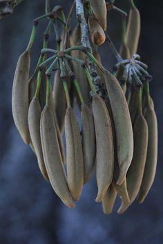 Stenocarpus sinuatus Seed Pods by John Elliott Townsville