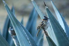 Gorrión Cuellirufo http://www.go2peru.com/spa/guia_viajes/arequipa/foto_aves_andinas_colca_lodge.htm