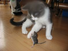 Please don't eat me kitty ! My cat found a mouse and I swear it was praying LOL