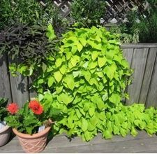 How to Grow Potato Vine. Fantastic and grows so fast!