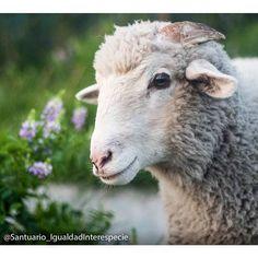Los rostros de las ovejas son muy expresivos y cuando se les conoce bien es posible saber lo que están sintiendo al observarlas. Por eso nos llena tanto el corazón observar esta imagen de Benjamín porque vemos en su rostro cómo la tristeza y el miedo con los que llegó al santuario han sido reemplazados por las sensaciones de alegría y paz   #animalsanctuary #animalfriends #animallovers  #animals #animalrights #animalliberation #veganofig #vegan #veganism #vegetarian #vegetarianism  #govegan…