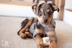 rottweiler australian shepherd mix - Google Search