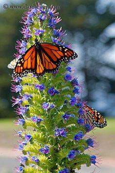 monarch butterfly with flowers | monarch-butterflies-on-flower-03.jpg butterflies, california, flowers ...