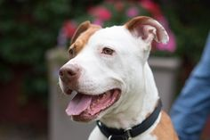 Click through to learn more about Vicki, a 4 year old American Staffordshire Terrier mix available for adoption at @pawschicago