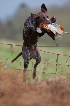 Pheasant retrieve. #Upland #Hunting #GSP