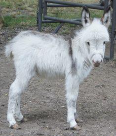 Chapel Hill Farm Mini Donkeys - Miniature Donkeys Texas - Little Sweetie!!!!