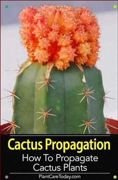 Cactus Proliferation Is Simple The Technique For Spreading Relies