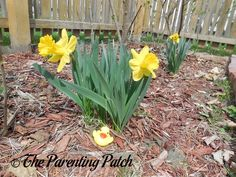 The Duck and the Daffodils: The Rubber Ducky Project Week 17 | The Parenting Patch