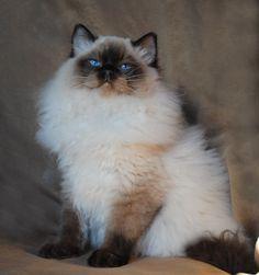 Blue-Gem Ragdoll Cat Breeders : Massachusetts